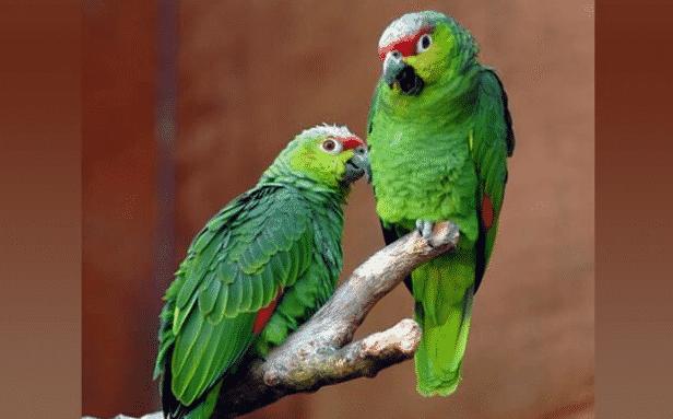 Loros amazonas en una rama - Wiki Animales