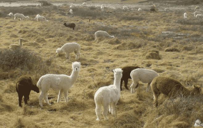 Manada de Alpacas - Wiki Animales