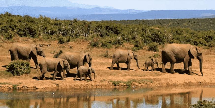 Manada de Elefantes Africanos - Wiki Animales