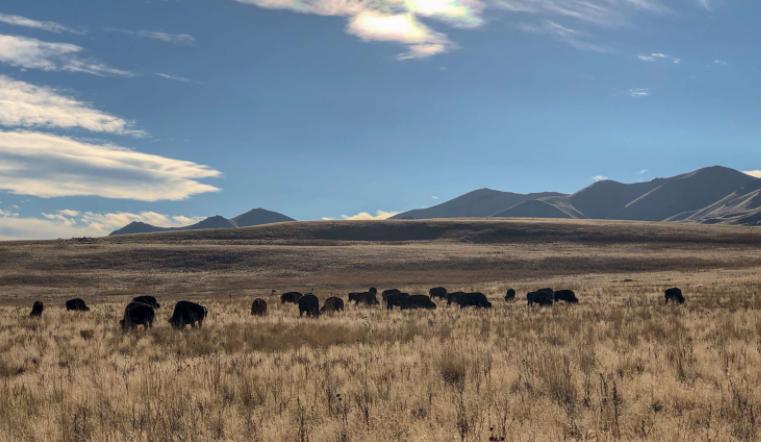 Manada de bisontes americanos - Wiki Animales