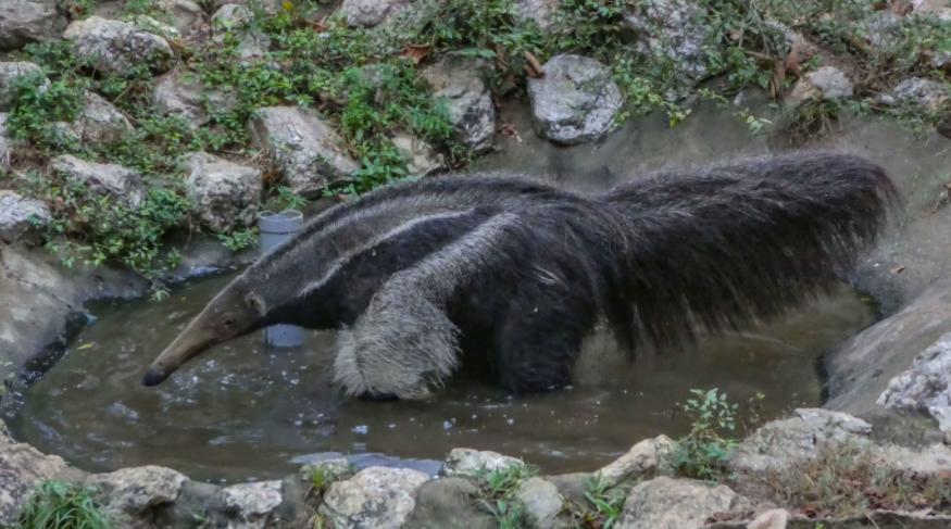 Oso Hormiguero dándose un baño - Wiki Animales