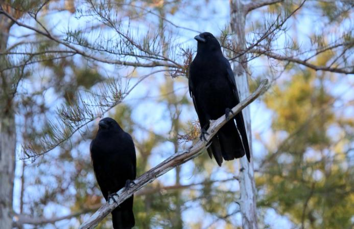 Pareja de Cuervos americanos - Wiki Animales
