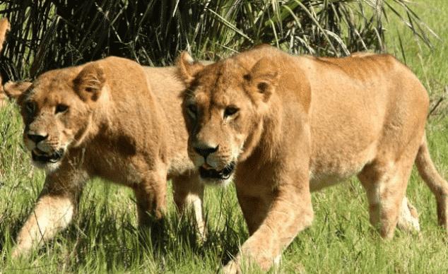 Pareja de leonas africanas cazando - Wiki Animales