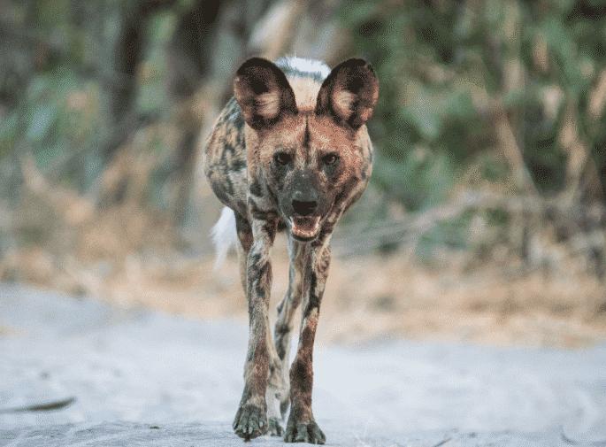 Perro Salvaje Africano caminando - Wiki Animales