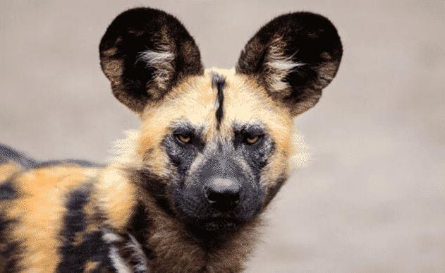 Perro Salvaje Africano observando - Wiki Animales