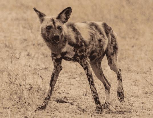 Perro salvaje africano en la sabana - Wiki Animales