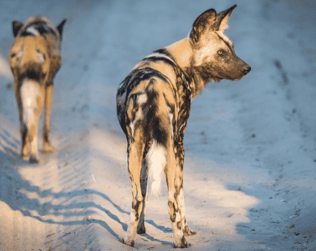 Perro salvaje africano siguiendo un rastro - Wiki Animales