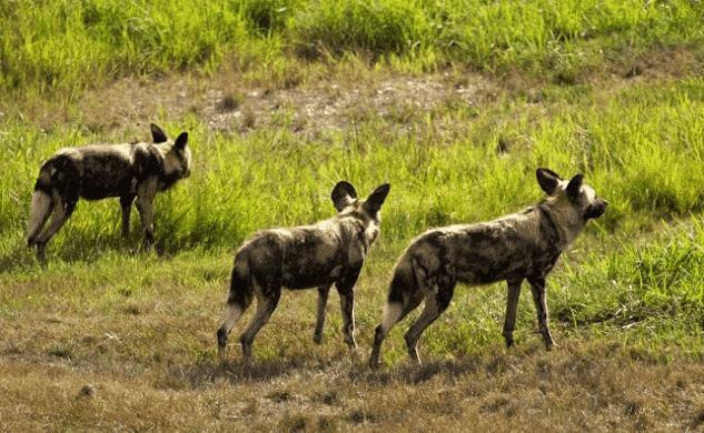 Perros salvajesa africanos de caza - Wiki Animales