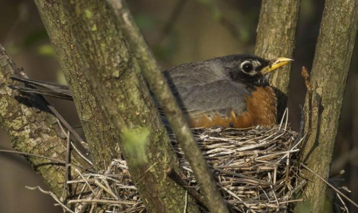 Petirrojo Americano en el nido - Wiki Animales