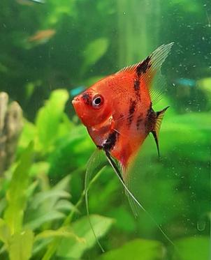 Pez Ángel nadando - Wiki Animales