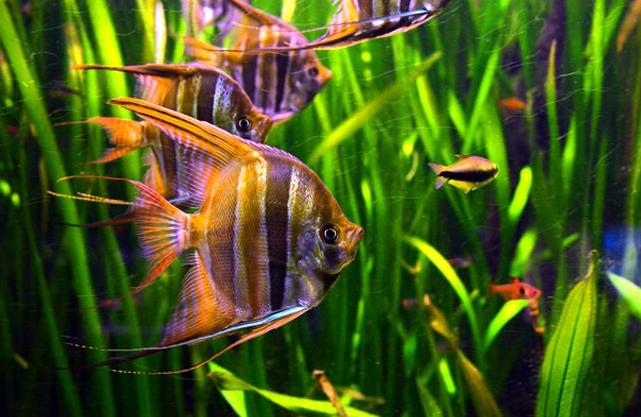 Pez Ángel nadando entre las algas - Wiki Animales
