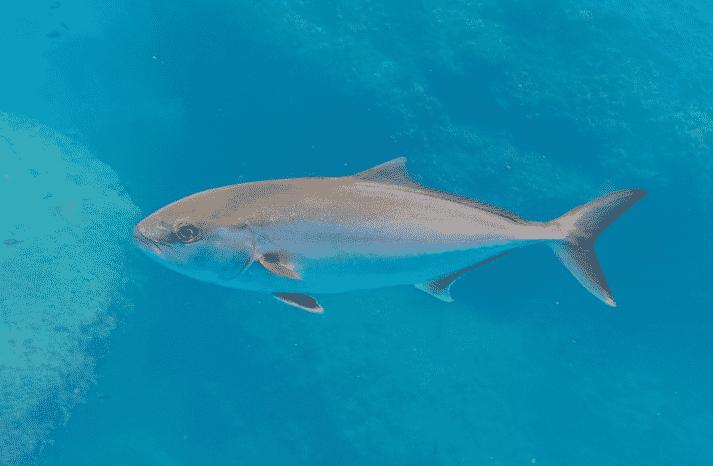 Serviola en el mar - Wiki Animales