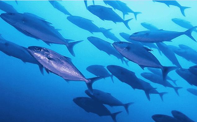 Serviolas nadando en grupo - Wiki Animales
