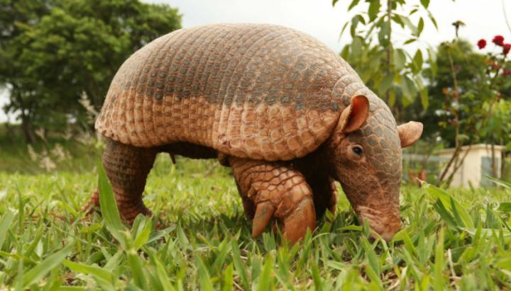 Armadillo en la hierba - Wiki Animales
