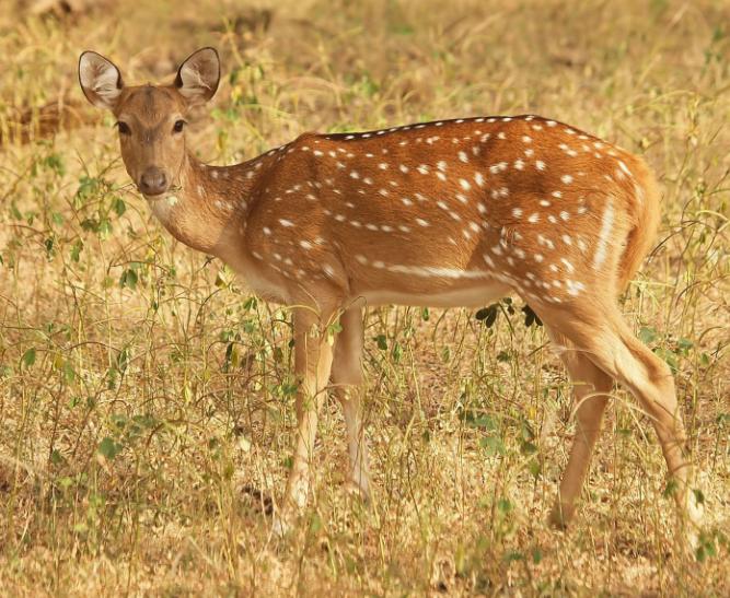 Ciervo Moteado buscando comida - Wiki Animales