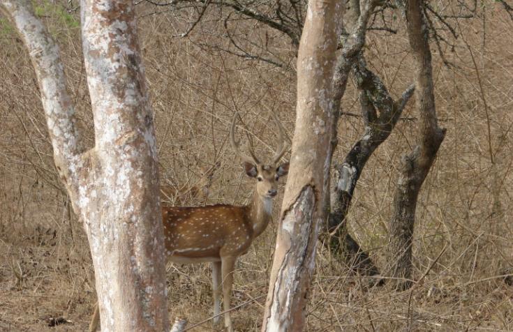 Ciervo Moteado entre los árboles - Wiki Animales