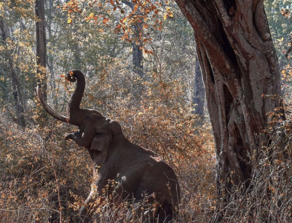 Elefante Asiático comiendo de un árbol - Wiki Animales