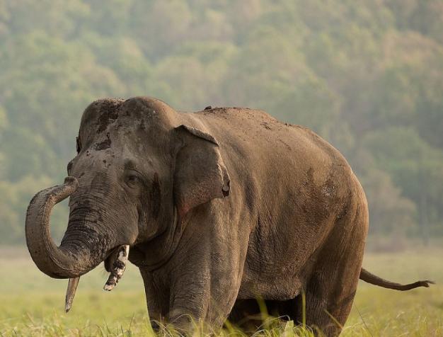 Elefante Asiático con barro - Wiki Animales