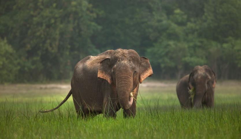 Elefantes Asiáticos comiendo hierba - Wiki Animales