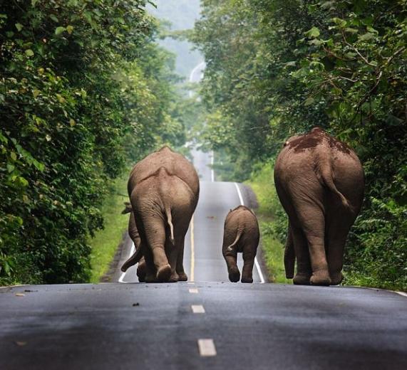 Elefantes Asiáticos por la carretera - Wiki Animales