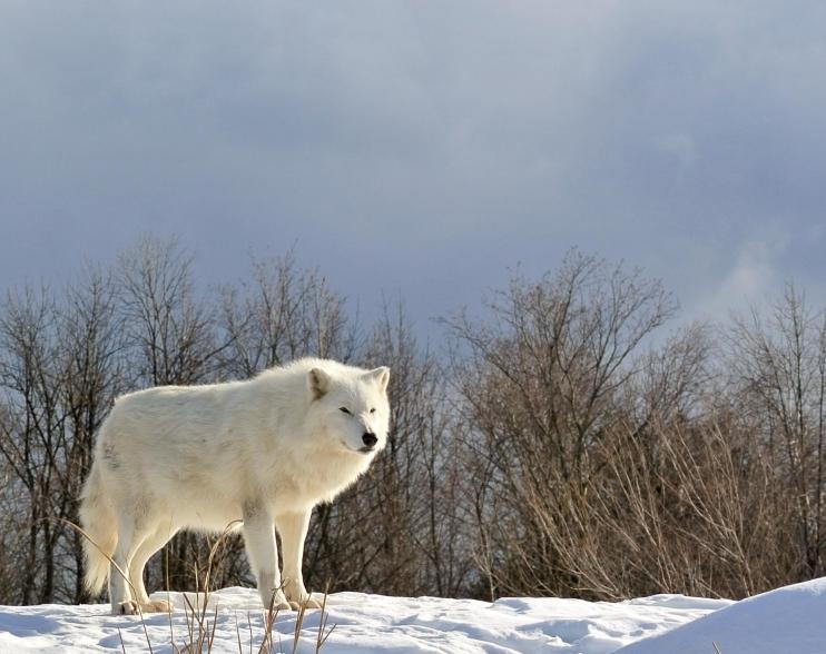 Lobo Ártico - Wiki Animales