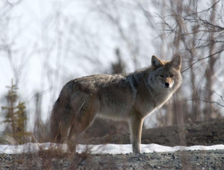 Lobo Ártico de caza - Wiki Animales