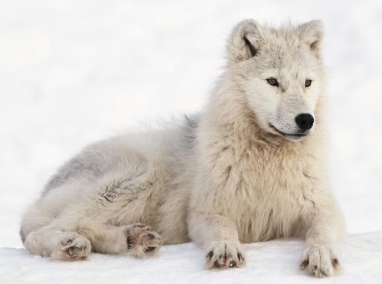 Lobo Ártico en la nieve - Wiki Animales