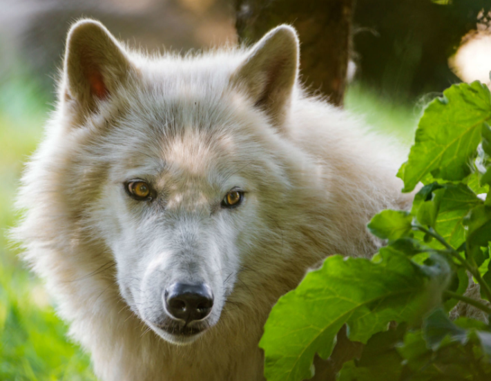 Lobo Ártico entre las hierbas - Wiki Animales