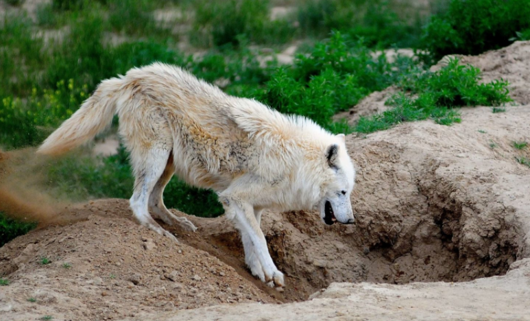 Lobo Ártico excavando - Wiki Animales