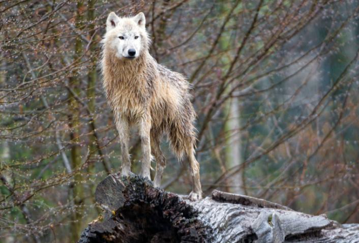 Lobo Ártico subido a un tronco - Wiki Animales
