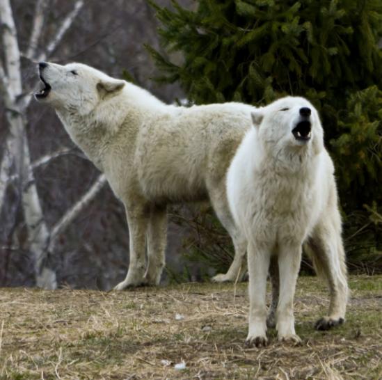 Lobos Árticos aullando - Wiki Animales