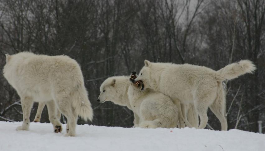 Lobos Árticos peleando - Wiki Animales