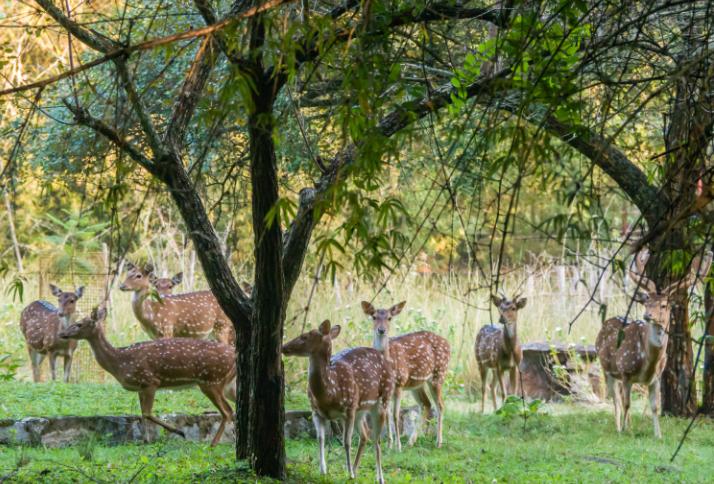 Manada de Ciervos Moteados - Wiki Animales