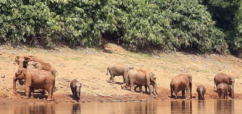 Manada de Elefantes Asiáticos en el río - Wiki Animales