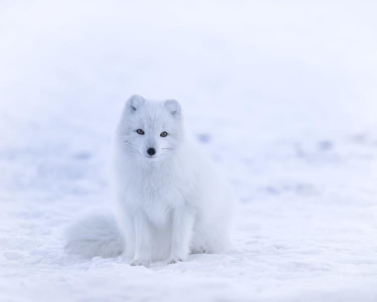 Zorro Ártico - Wiki Animales
