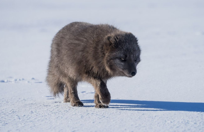 Zorro Ártico buscando comida - Wiki Animales