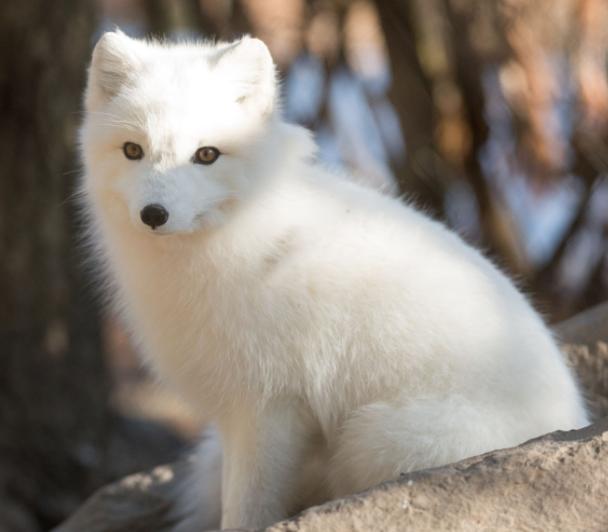 Zorro Ártico en el bosque - Wiki Animales