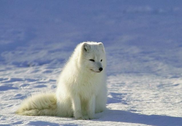 Zorro Ártico en la fría nieve - Wiki Animales