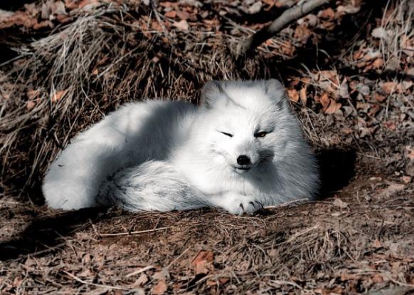 Zorro Ártico en la madriguera - Wiki Animales