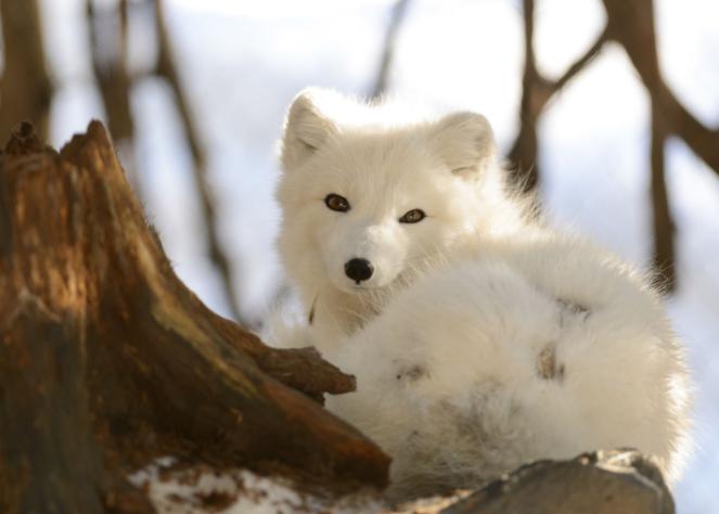 Zorro Ártico en un tronco - Wiki Animales