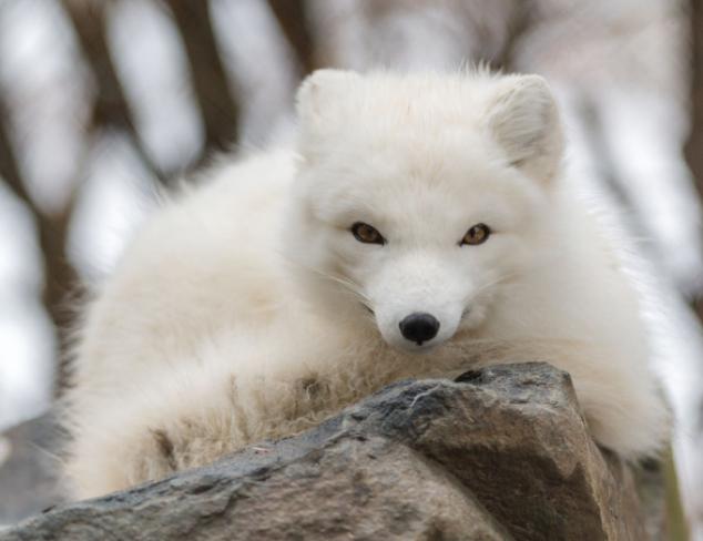 Zorro Ártico en una piedra - Wiki Animales