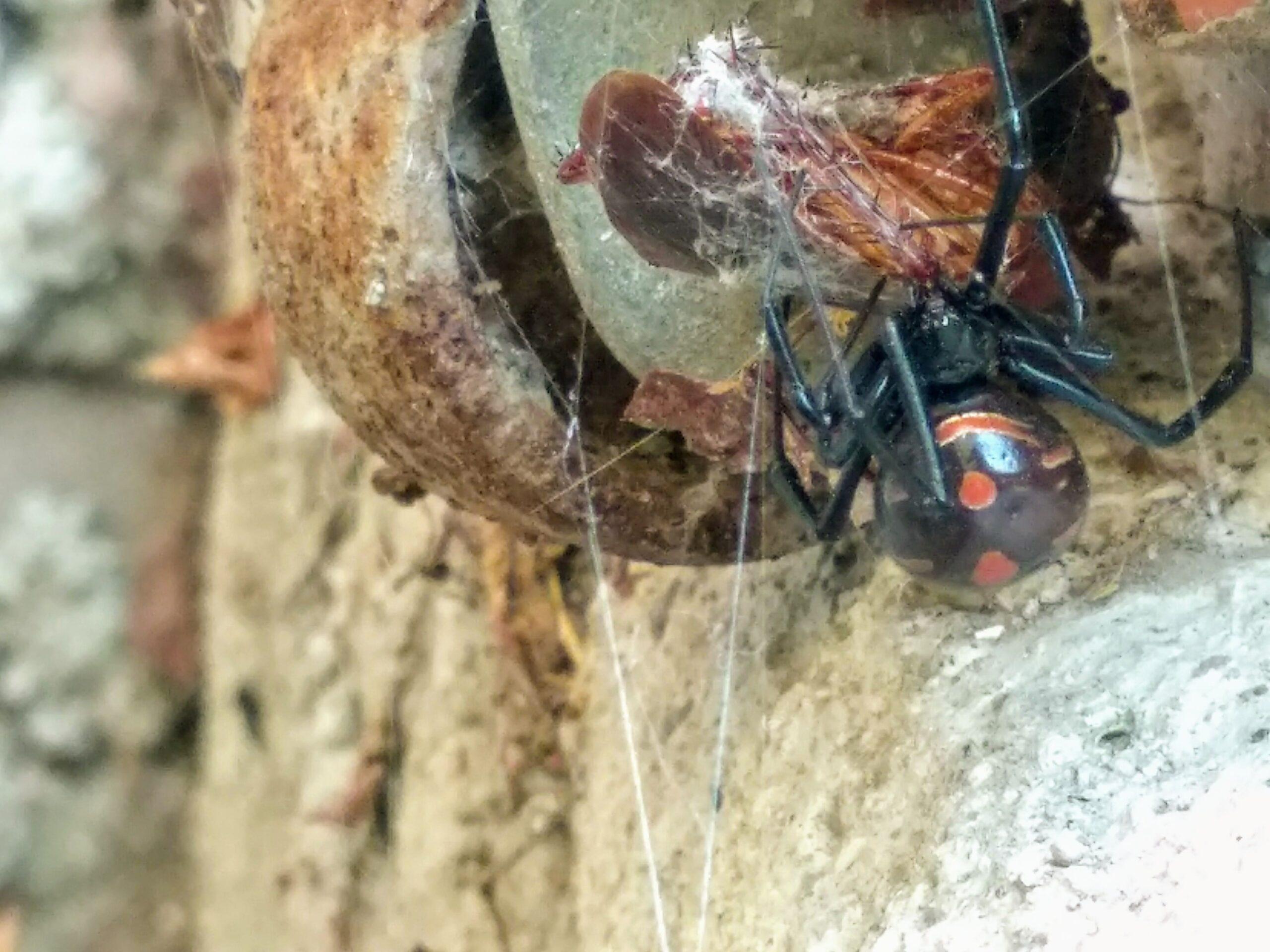 Araña Viuda Negra comiendo insecto - Wiki Animales