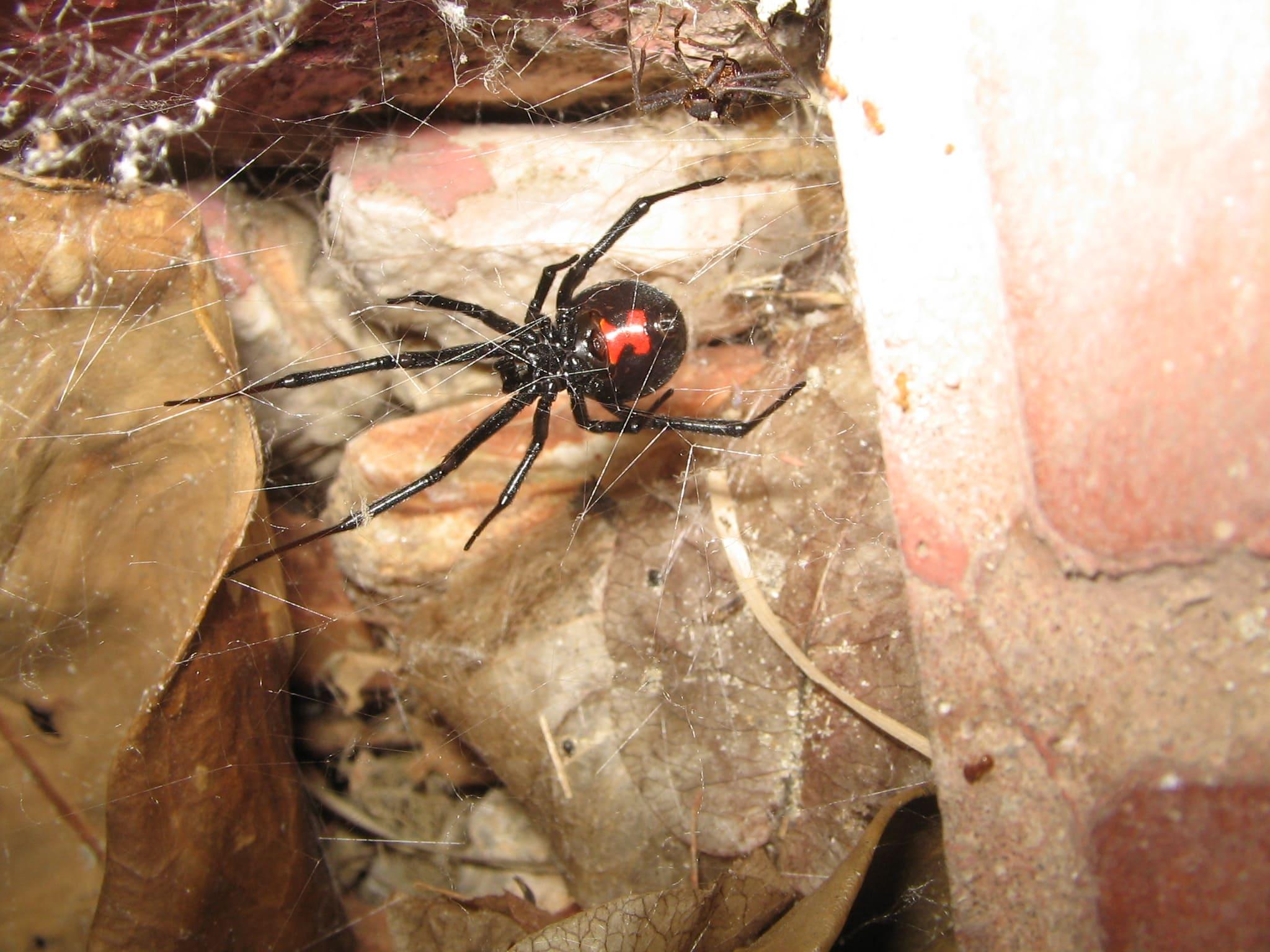 Araña Viuda Negra en su tela de araña - Wiki Animales