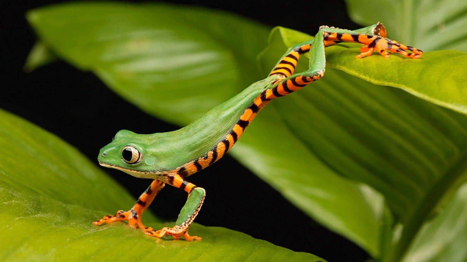 Rana saltando - Wiki Animales